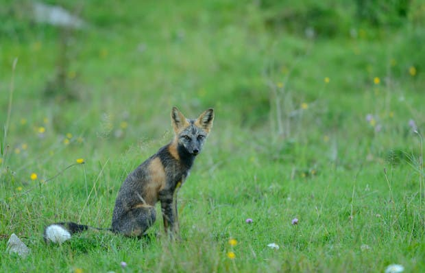 fox-species-photography-7-2