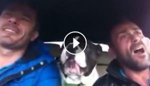 bulldog-cantando-play