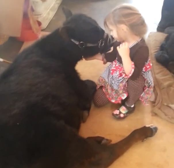 little-girl-pet-calf-cow-nap-breanna-izzy-3