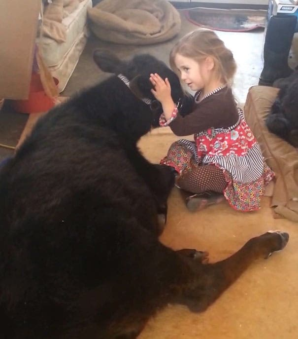 little-girl-pet-calf-cow-nap-breanna-izzy-5