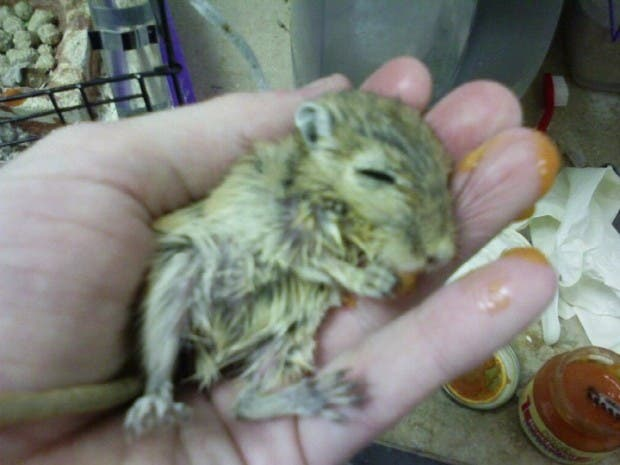 sick gerbil in the investigator's hand