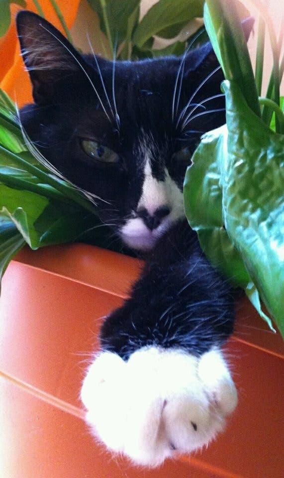 gato negro blanco