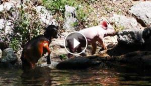 cerdito-salva-cabra-play