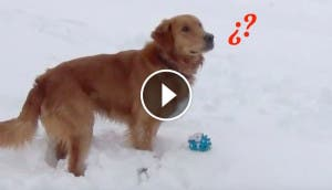 golden-retriever-confundido-sonido