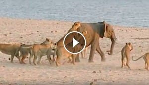 leonas-atacan-elefante-play