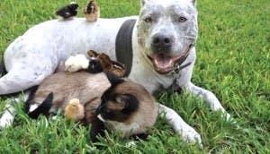 pitbull-carinoso-otros-animales