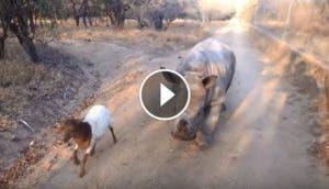 rinoceronte-corderito
