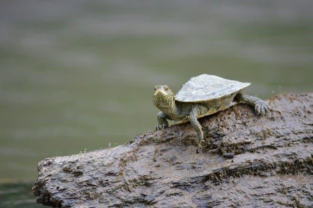 tortugas (10)