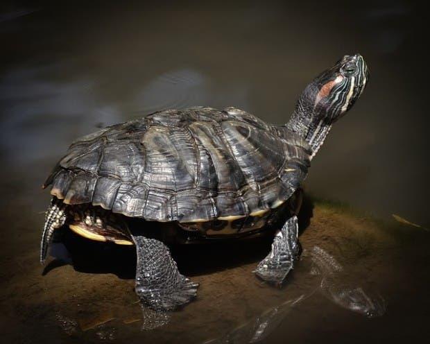 tortugas (6)