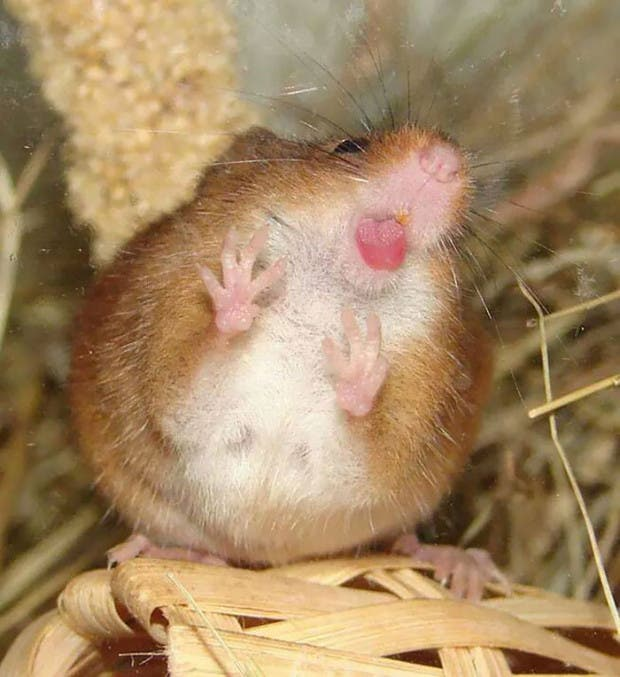 animales divertidos en vifrios rata
