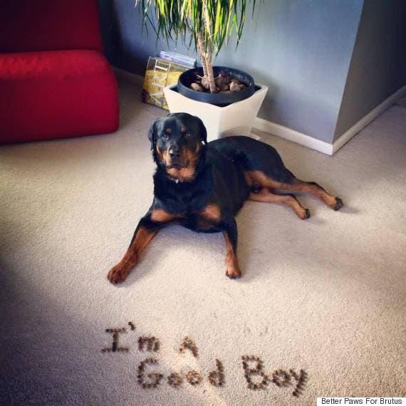 perro-rottweiller-protesis-patas-amputado