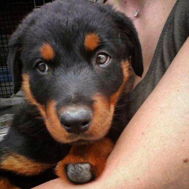 perro-rottweiller-protesis-patas-cachorro