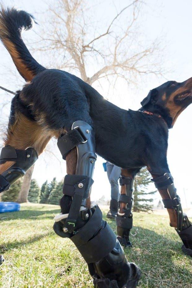perro-rottweiller-protesis-patas-fisioterapia