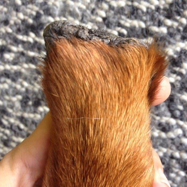 perro-rottweiller-protesis-patas-herida