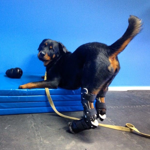 perro-rottweiller-protesis-patas-protesis-posteriores