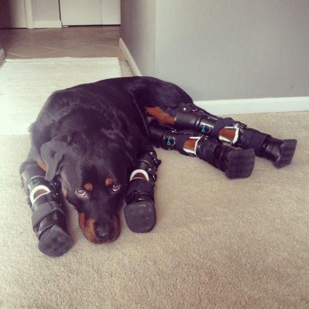 perro-rottweiller-protesis-patas-quieto