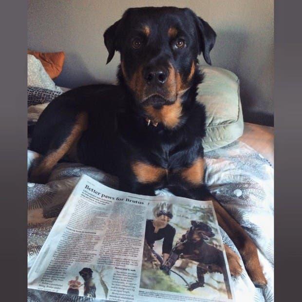 perro-rottweiller-protesis-patas-recaudacion