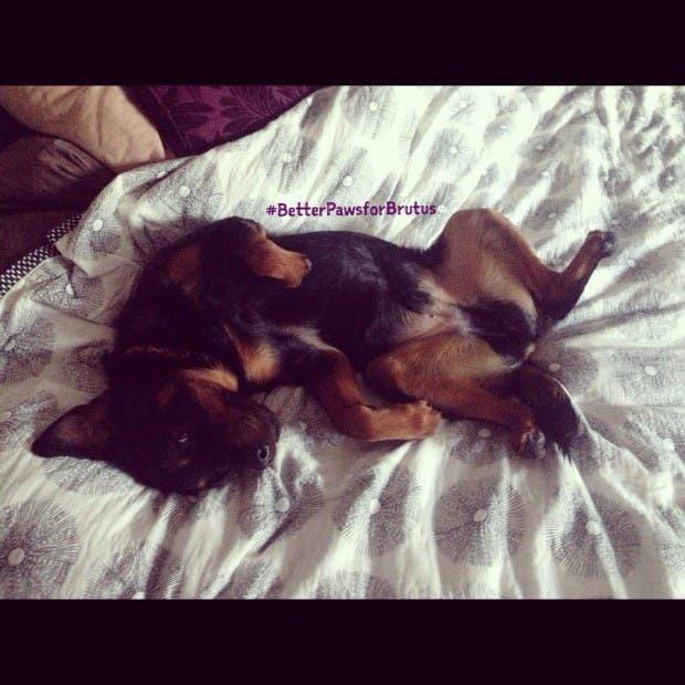 perro-rottweiller-protesis-patas-tierno