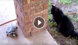 gato-juega-tortuga-play