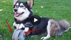 perro-derby-protesis