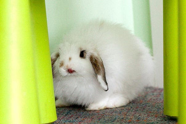 Una galería de conejitos mostrando su pequeña lengua ¡Simpáticos y adorables!