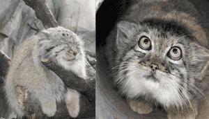 gatos manu principal