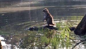 mapache-caiman