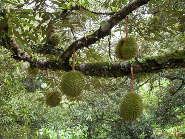 20-of-the-Worlds-Weirdest-Natural-Foods-Fruits-Vegetables11__700