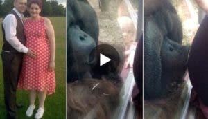 orangutan-besa-mujer-embarazada-play