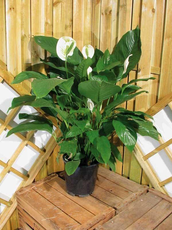 Plantas que limpam o ar de uma casa intonses - Plantas bonitas de interior ...