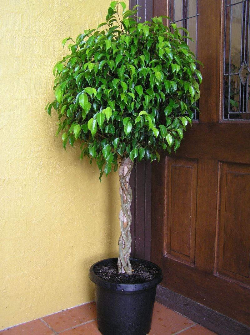 Plantas que limpam o ar de uma casa intonses Plantas de interior duras