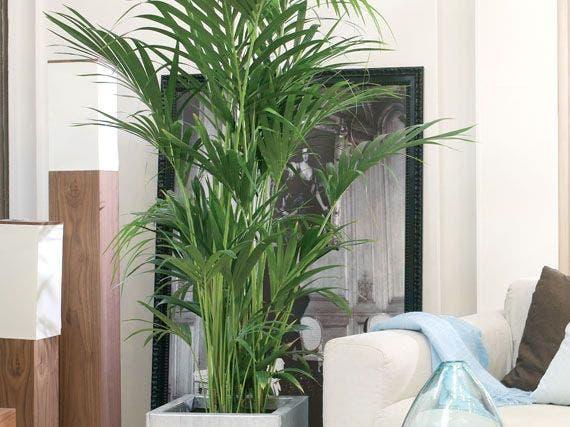 Limpia el aire de tu cueva con estas plantas taringa - Planta interior palmera ...