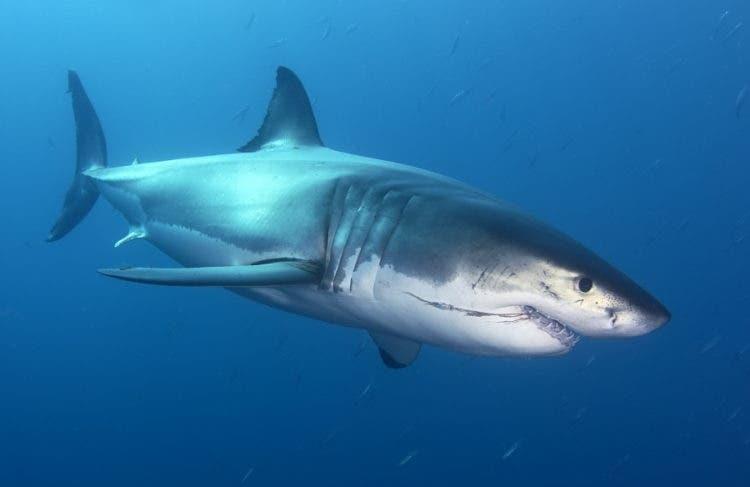 tiburon-california-blanco