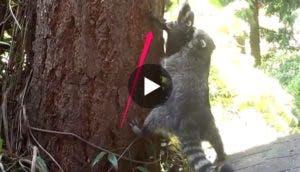 mapache-ensena-trepar-play