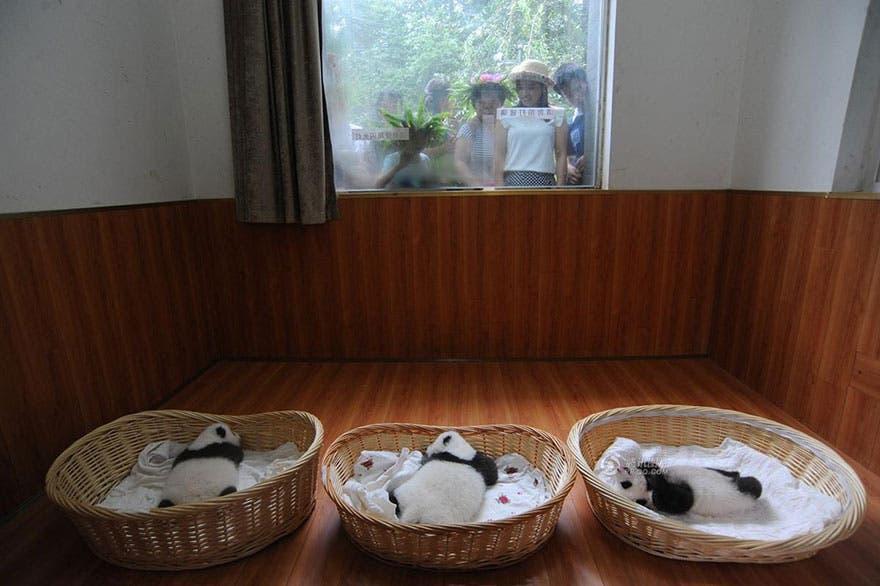 panditas-bebes-en-canastas-2