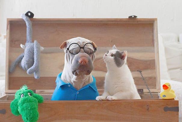 shar-pei-dog-paddington-friend-annie-cat-14