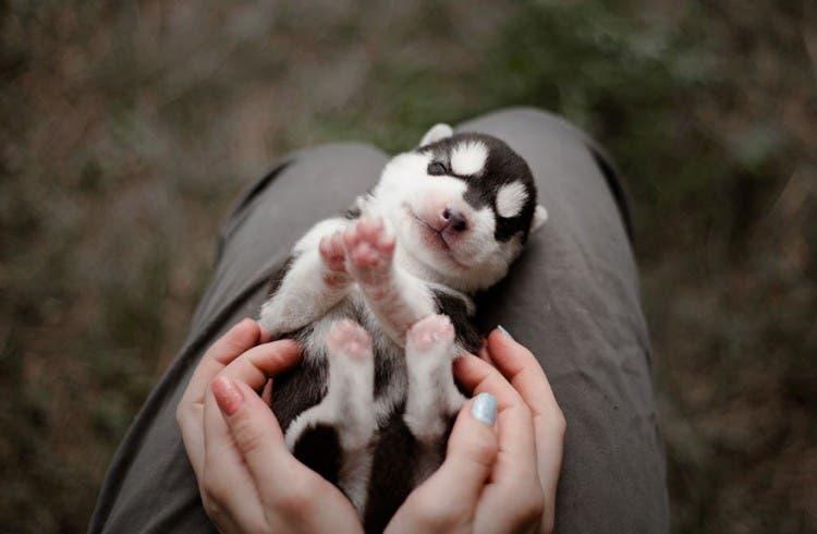 siberian-husky-dog-instagram-erica-tcogoeva-61