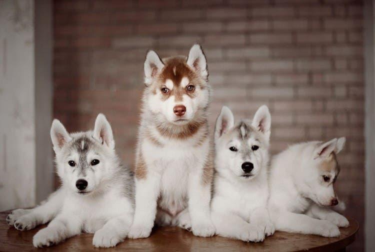 Después de ver las fotos seguro que te enamorarás de estos pequeños Husky ¡Son adorables!