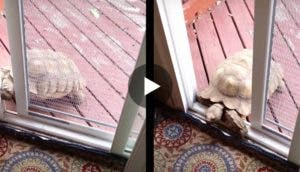 tortuga-abre-puerta-play