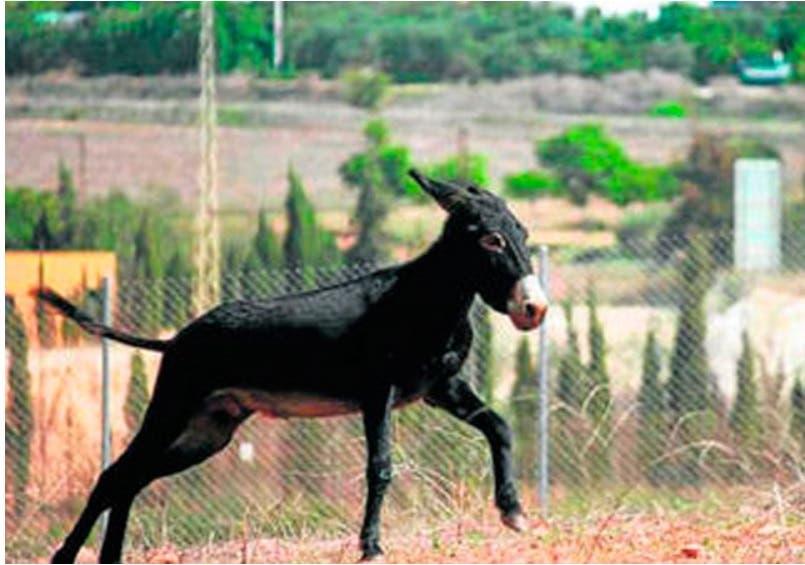 burro capitan 10