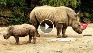 cuernos-de-rinoceronte-teñidos