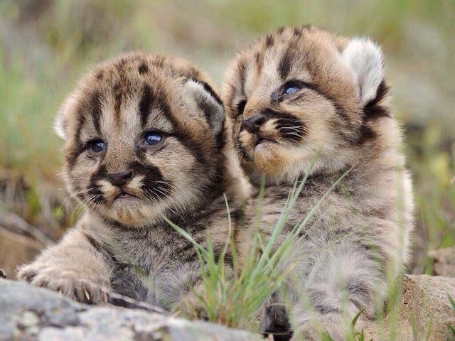 leones-montaña