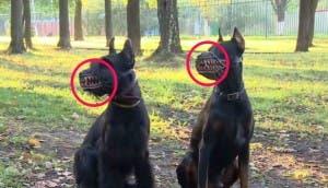 perro-bosal-lobo