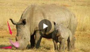 rinocerontes-pintan-cuernos