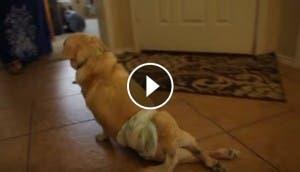 chance-perrito-paraplejico