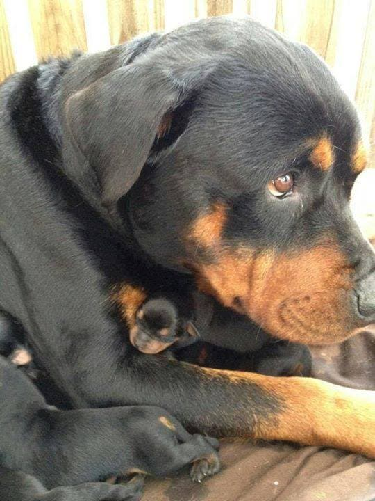 perros-cachorritos2