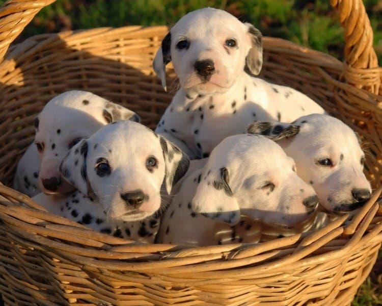 perros-cachorritos8