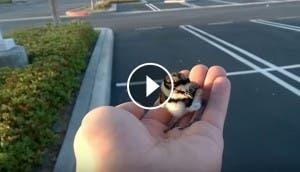 rescata-polluelo-lo-devuelve-a-sus-padres