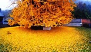 arbol-antiguo-amarillo-china4 - copia