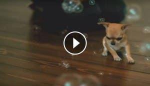burbujas chihuahua